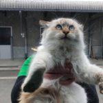 猫 シャムちゃん 漁港 野良猫